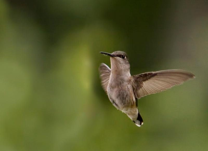 Flying hummer