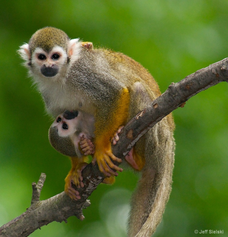 I See You!! Squirrel Monkeys-Mom & Baby