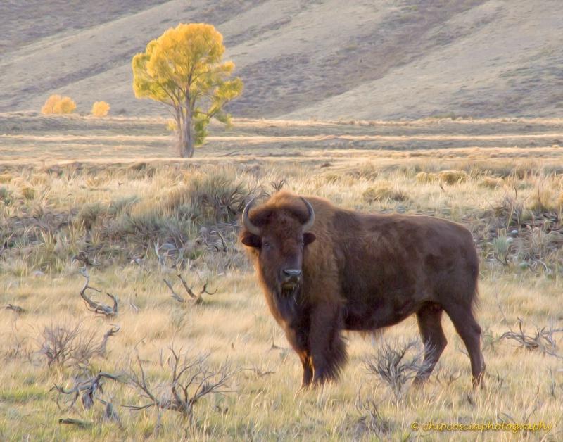 Solo Bison #1 - ID: 14931008 © Chip Coscia