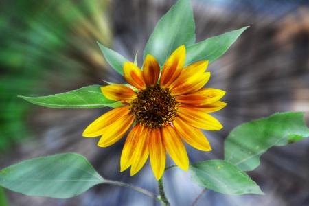 "-----------""Radiant Sunflower""----------"