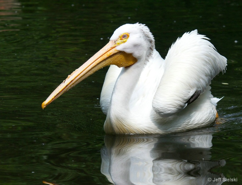 Summer Time Swim!!  White Pelican