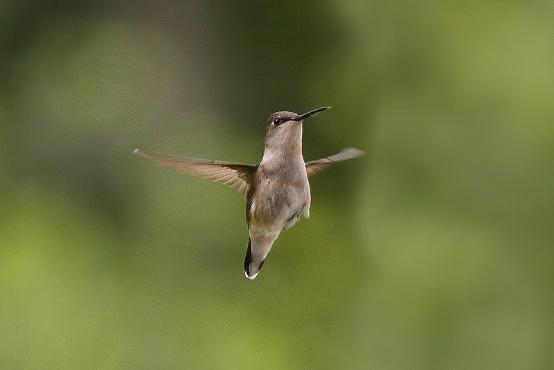 Yet another hummingbird photo
