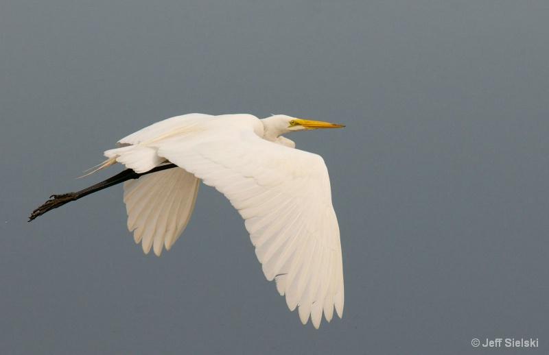 Up & Away!!  Great Egret In Flight