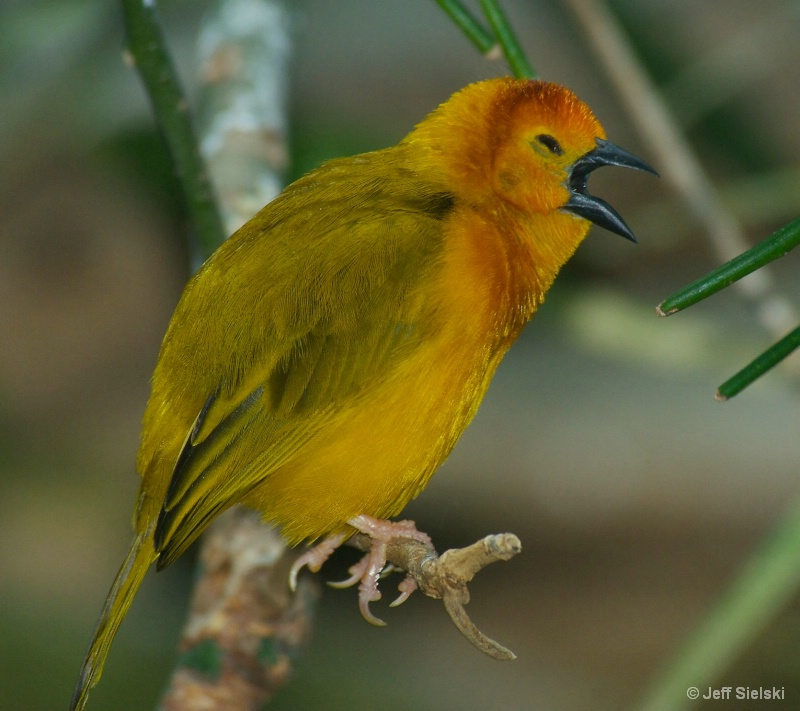Do You Hear Me!!!  Taveta Golden Weaver
