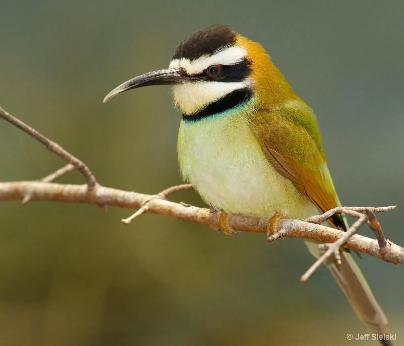 Small But Cute!! White-Throated Bee Eater