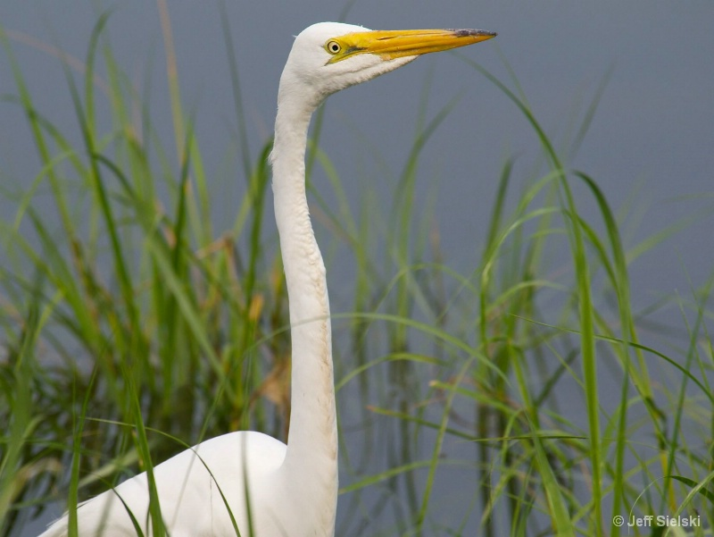 May I Help You???  Great Egret