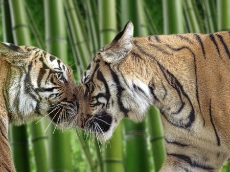 Bamboo Tigresses