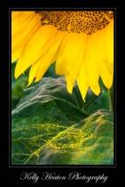 Sunflower Petals and Pollen