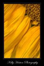 Sunflower Petals II