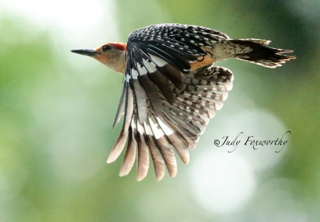 Red-bellied Woodpecker In Flight