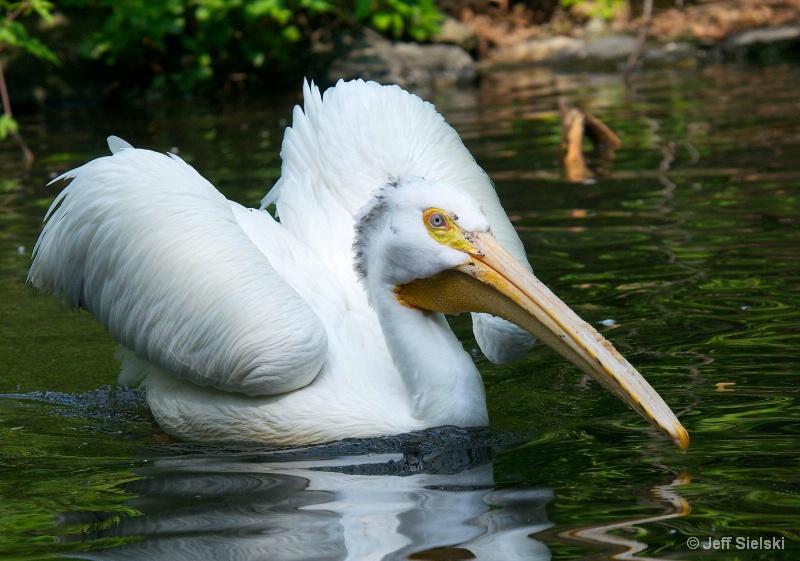 Looking Very Regal!!  White Pelican