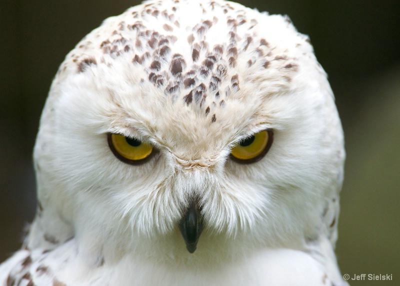 Look Into My Eyes!!!  Snowy Owl