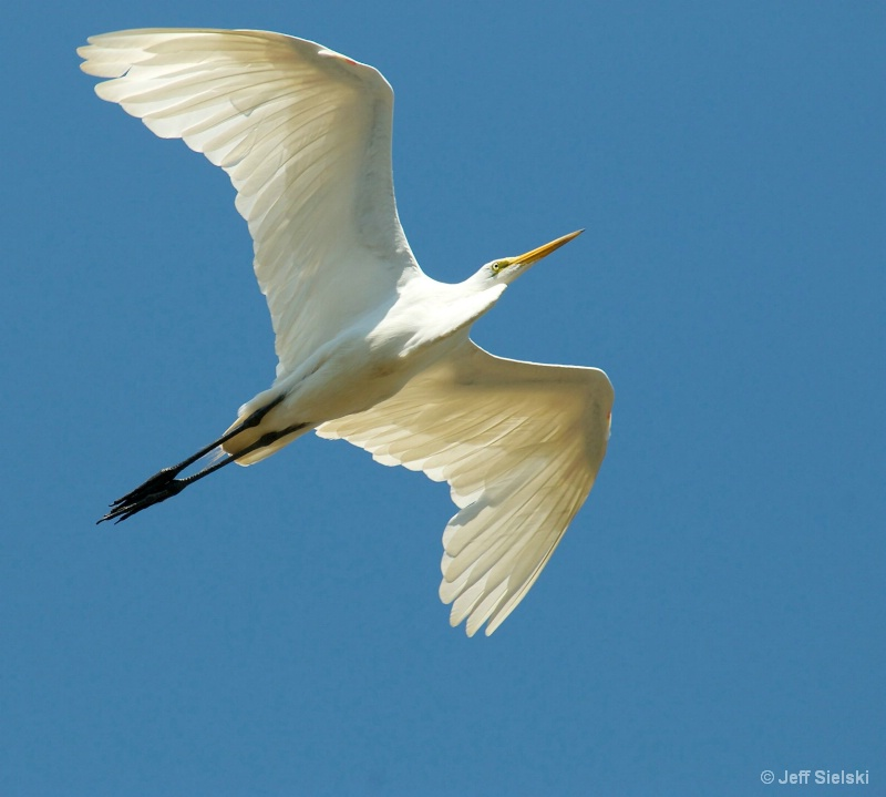 Look Up In The Sky!! Great Egret In Flight