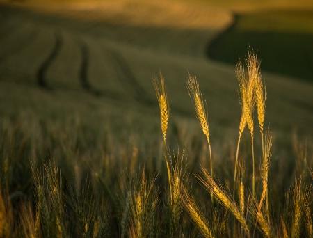 Land of Wheat