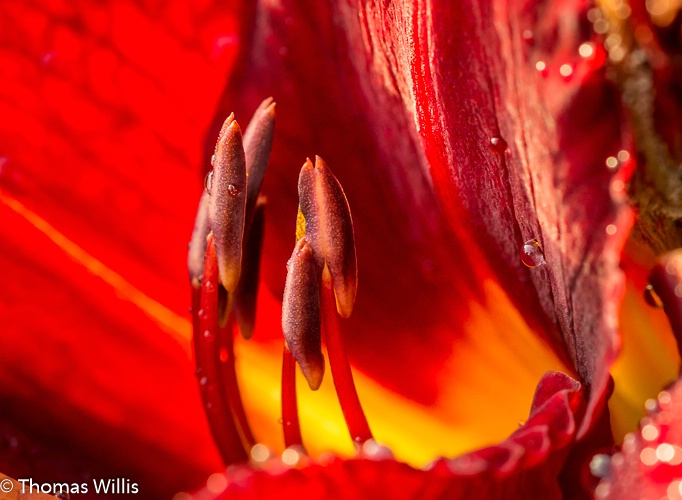 Daylilly at Tyler Rose Garden, Tyler, TX - ID: 14938377 © Thomas L  Willis