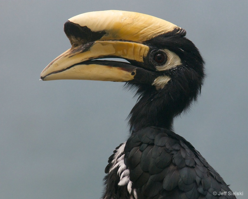 I Am Unique!!! Oriental Pied Hornbill
