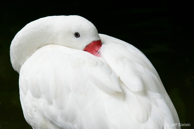 One Eye Open!!  Coscoroba Swan