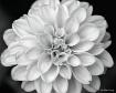 Fully Blossomed.....