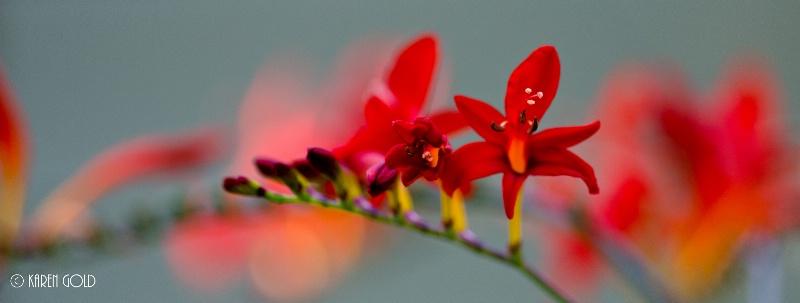 Bloomin Lucifer - ID: 14940438 © Karen E. Gold