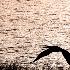 © SHIRLEY W. BENNETT PhotoID # 14940835: A SINGLE CRANE FLIES INTO SUNSET