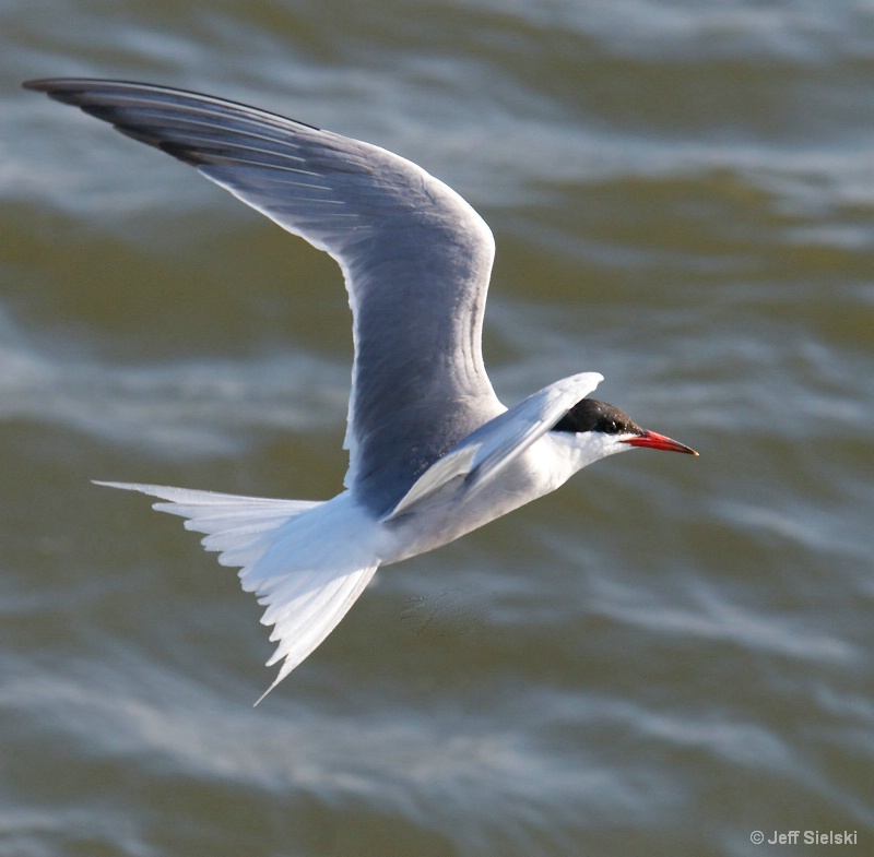 Here I Am!!!!  Common Tern In Flight
