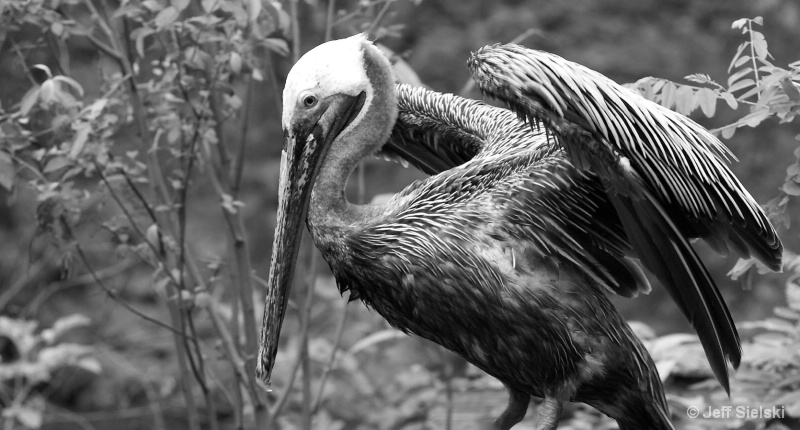 A Morning Stretch!!  Brown Pelican, B&W