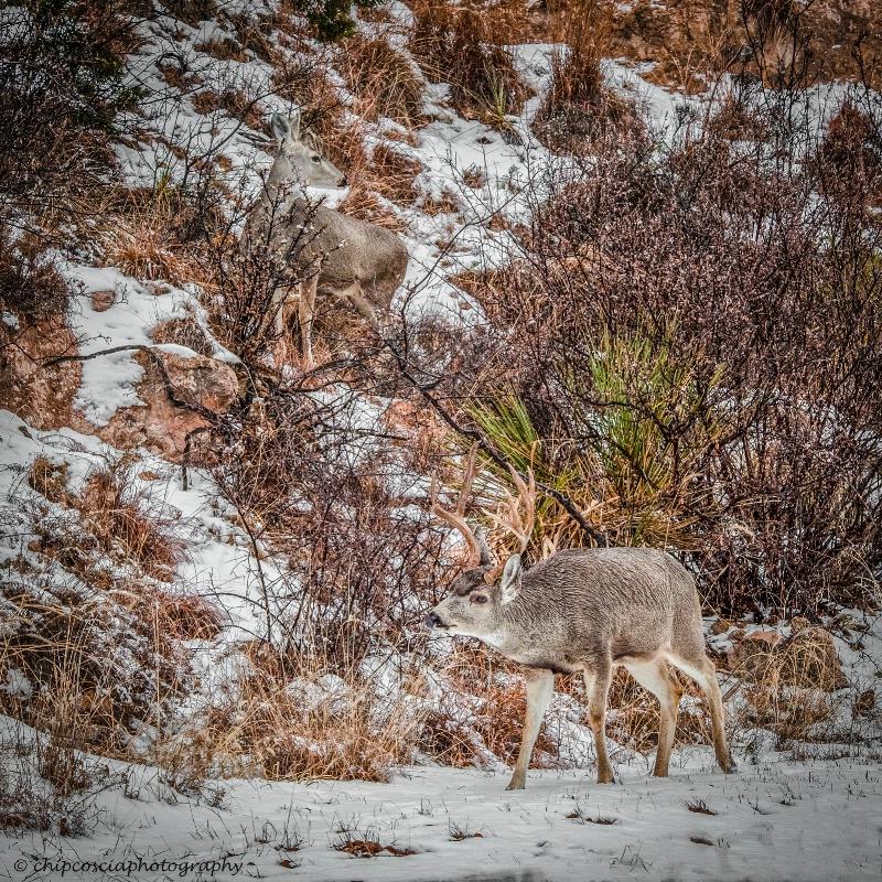 Mule Deer in Snow - ID: 14942982 © Chip Coscia