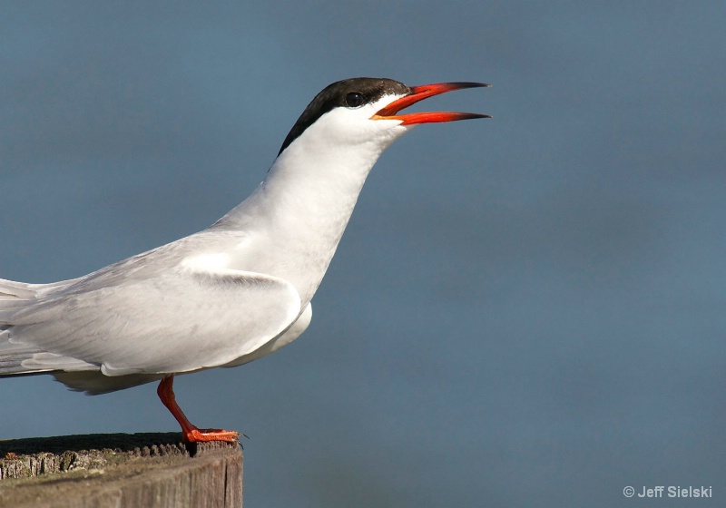 Sing Me A Song!!  Common Tern
