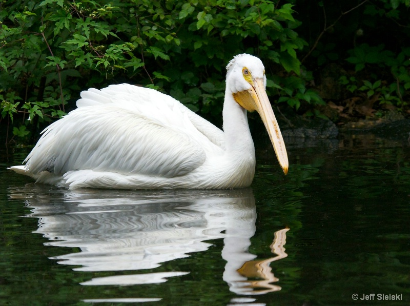 A Very Calm Morning Swim!! White Pelican