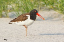 Oyster Catcher; Nickerson Beach, NY