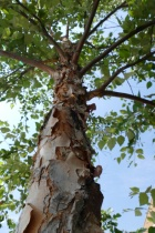 Tree bark - after