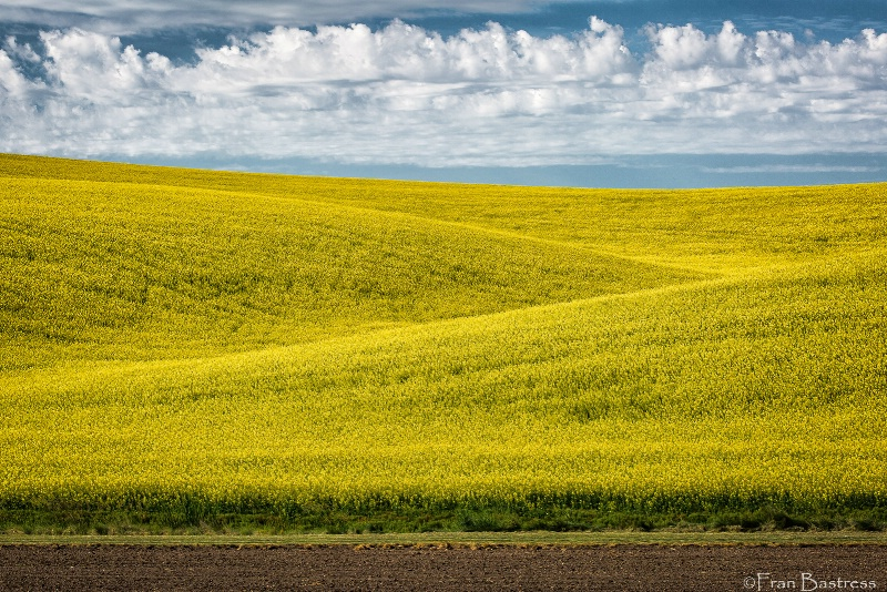 Dancing Clouds over a Canola Field - ID: 14950081 © Fran  Bastress