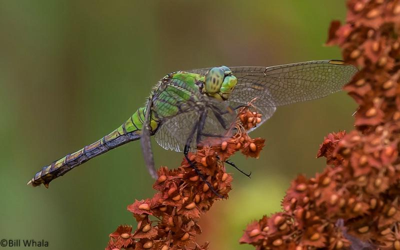 Green on Millet