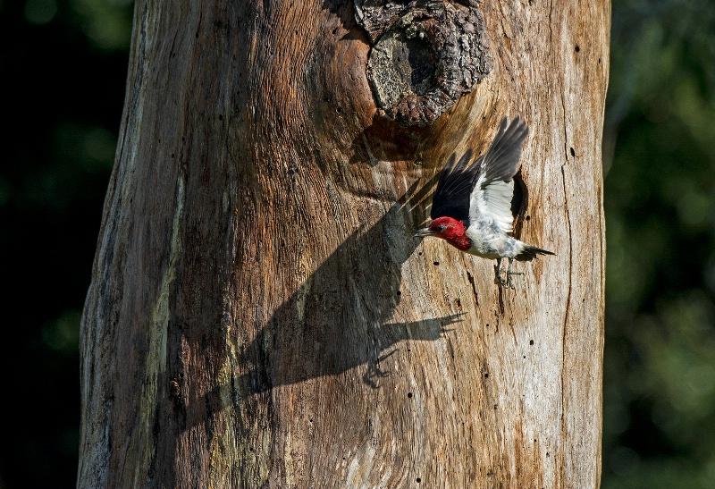 Red headed woodpecker leaving nest - ID: 14961917 © Michael Cenci