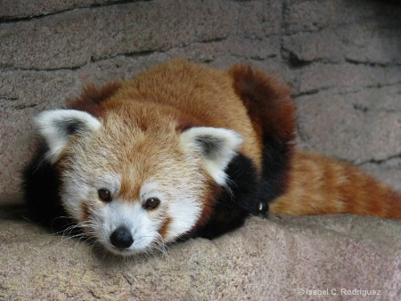 Cute Red Panda (C)