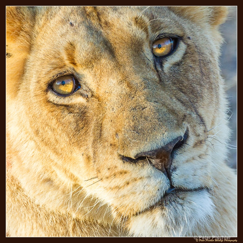 Eyes of a lion...