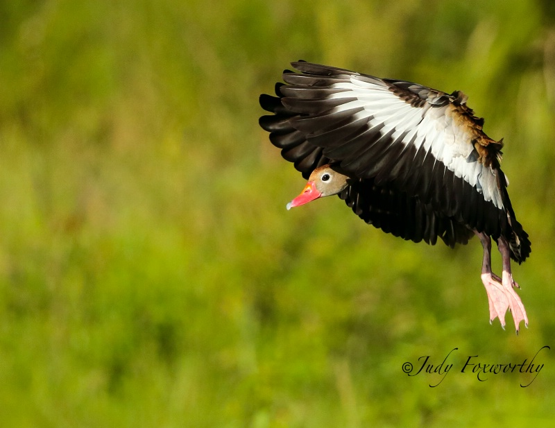 Black-bellied Whistling Duck Looking To Land