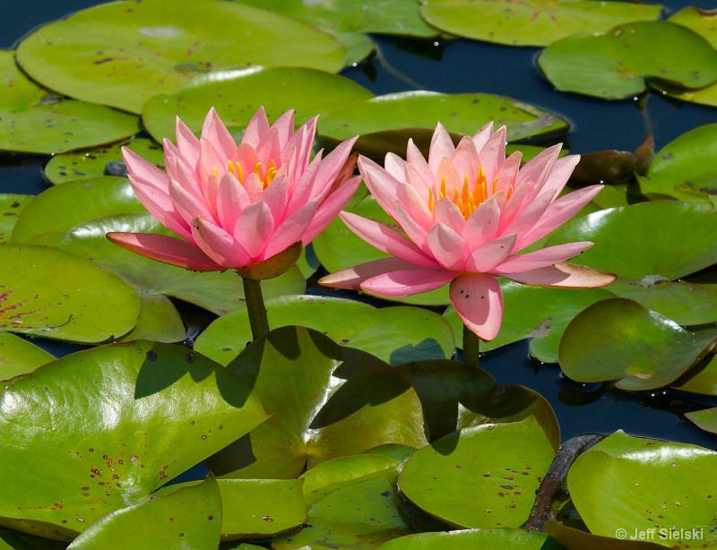 Pretty In Pink!!  Water Lilies