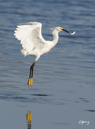 Snowy Egret With Fish; Chincoteague, Va