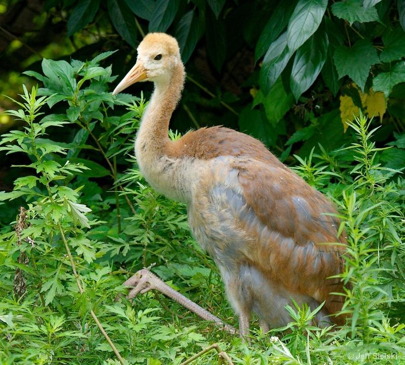 Immature White-Naped Crane