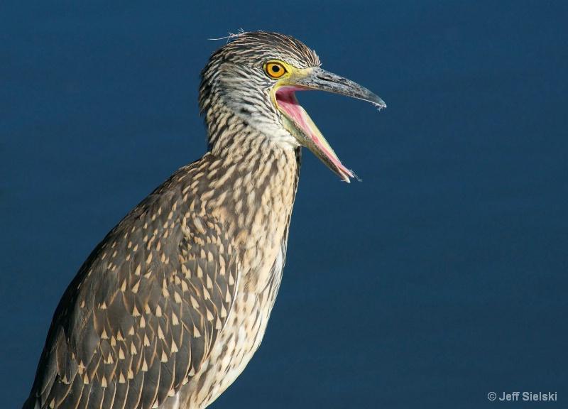 """""""Say What""""!!  Immature Night-Heron"""