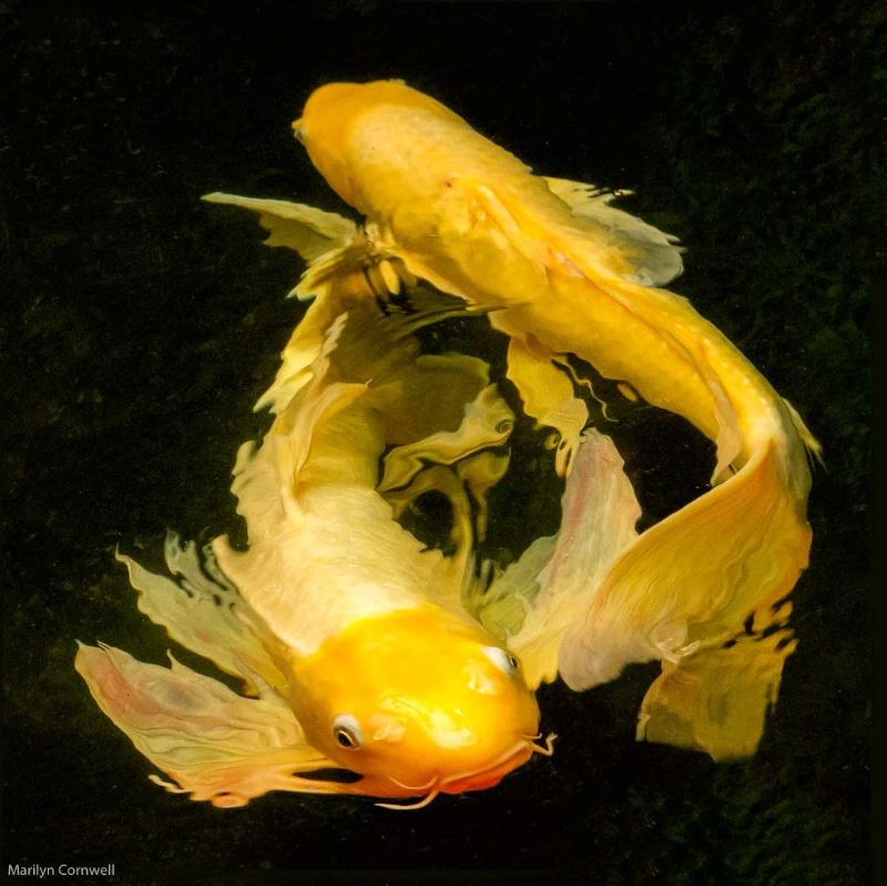 Koi Play - ID: 14970813 © Marilyn Cornwell