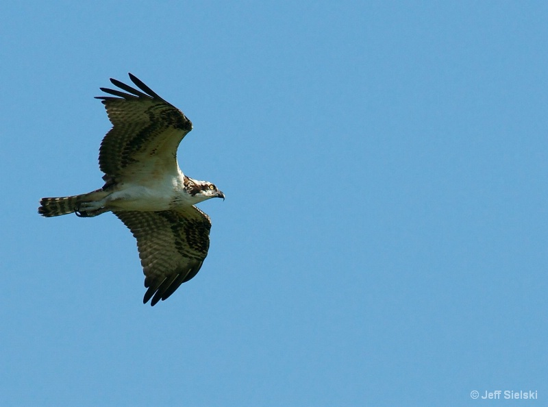 Early Morning Flight!!  Osprey In Flight
