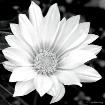 Daisy Simplicity ...