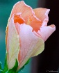 Peach-tone Hibisc...