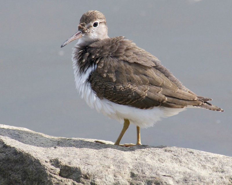 I Am Fluffy & Cute!!  Plover Bird