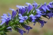 Great Lobelia