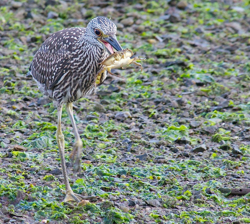 Breakfast Time!!  Immature Heron