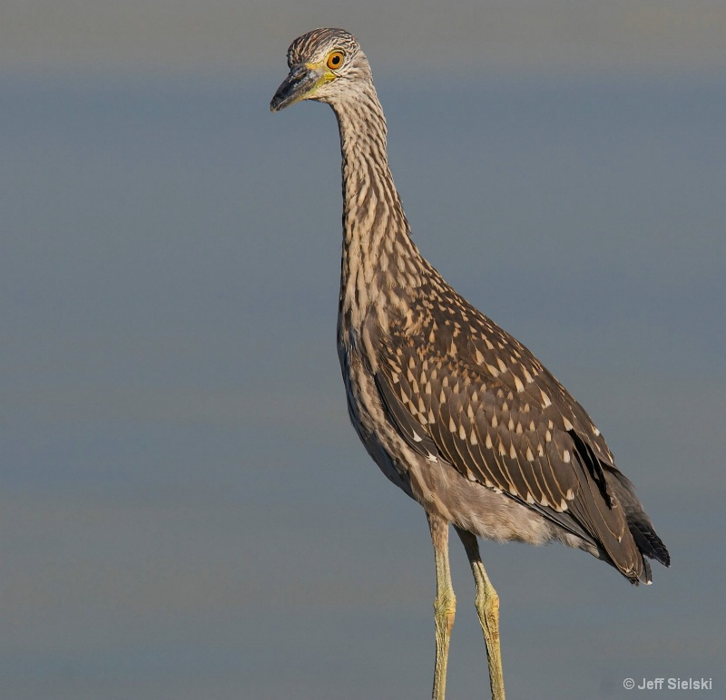 Well Good Morning!!!!  Immature Heron