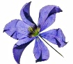dried clematis